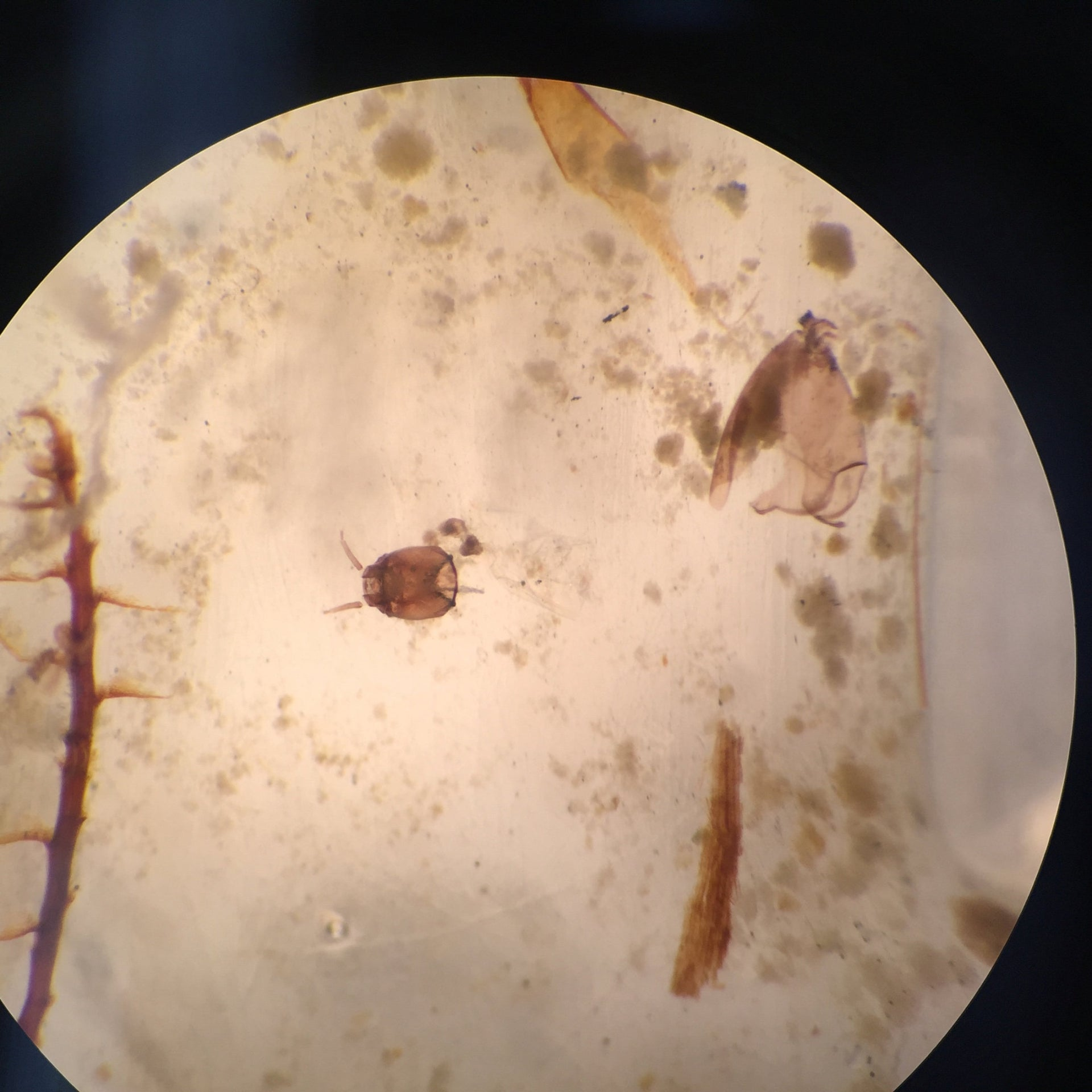 An up-close look at a chironomid's head capsule(center) under a microscope.The Northwestern team isolates these exoskeletons from sediment cores collected in southern Greenland for oxygen isotope analysis.
