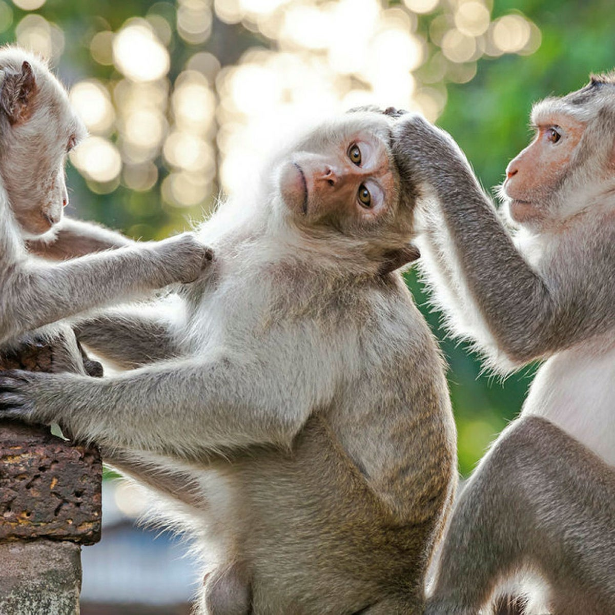 Monkeys checking each other for fleas on concrete fence in a park.