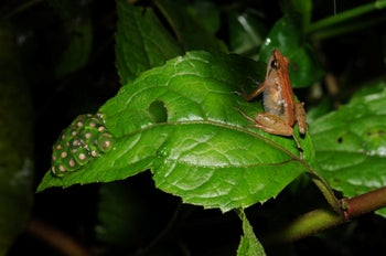 A new species of puddle frog (female Phrynobatrachus bibita sp. nov.) from an unexplored mountain in southwestern Ethiopia.