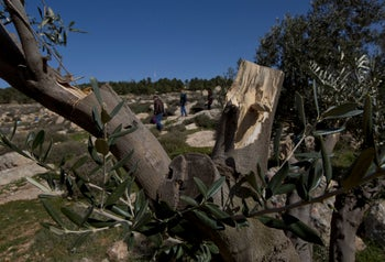 A vandalized olive trees in village of At-tuwani, West Bank, January 25, 2019.