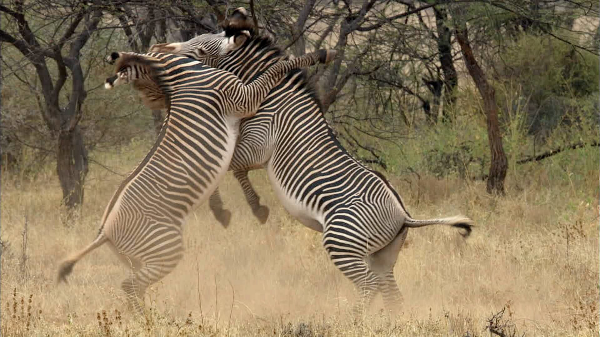 Grevy's zebras in a battle over dominance: Now imagine trying to land on one of them.