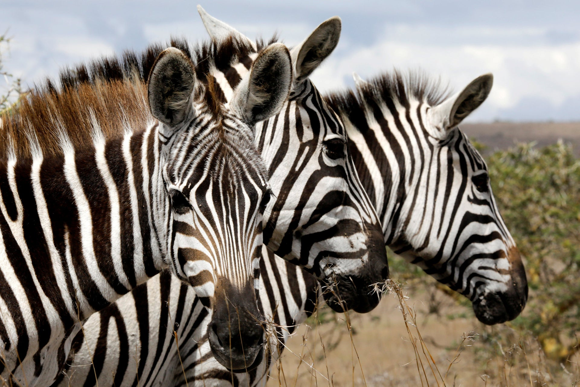 Stripes confuse the eyes of flies. Zebras at the Nairobi National Park, near Nairobi, Kenya, December 3, 2018.