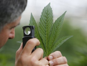 FILE PHOTO: An employee inspects the leaf of a cannabis plant at a medical marijuana plantation in northern Israel, on March 21, 2017.