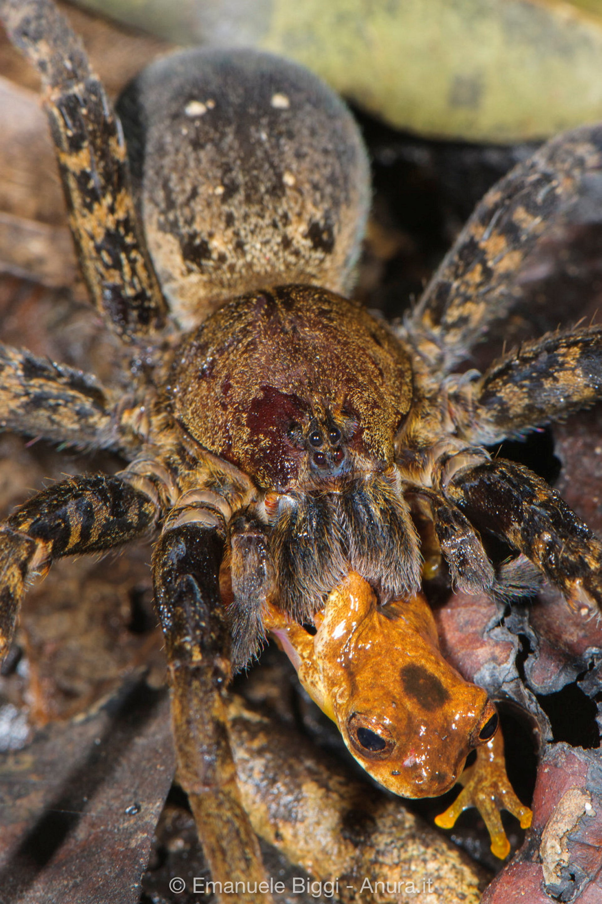 A wandering spider (genus Ancylometes) in the lowland Amazon rainforest preying on a tree frog (Dendropsophus leali).
