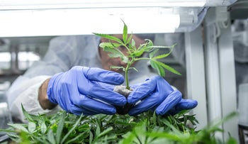 File photo: Cannabis seedlings are cared for by a worker in a green house of the cannabis cultivating and processing plant of BOL Pharma – Revadim Industrial Center in Lod, Israel, January 23, 2019.