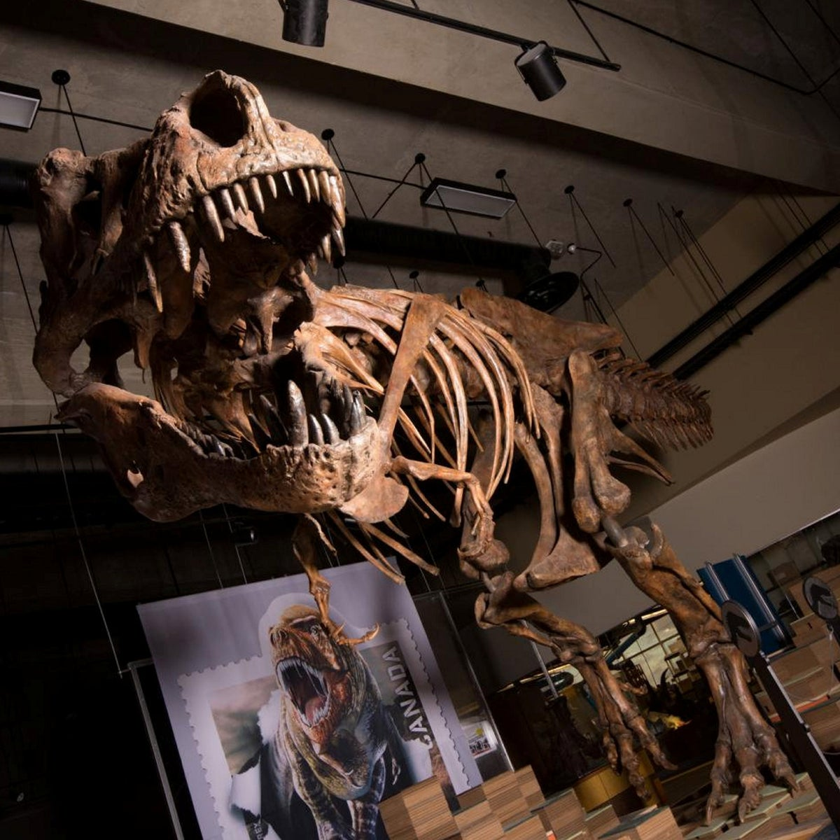 Scotty, the biggest, the oldest, the most terrifying T-rex ever found - and female?
