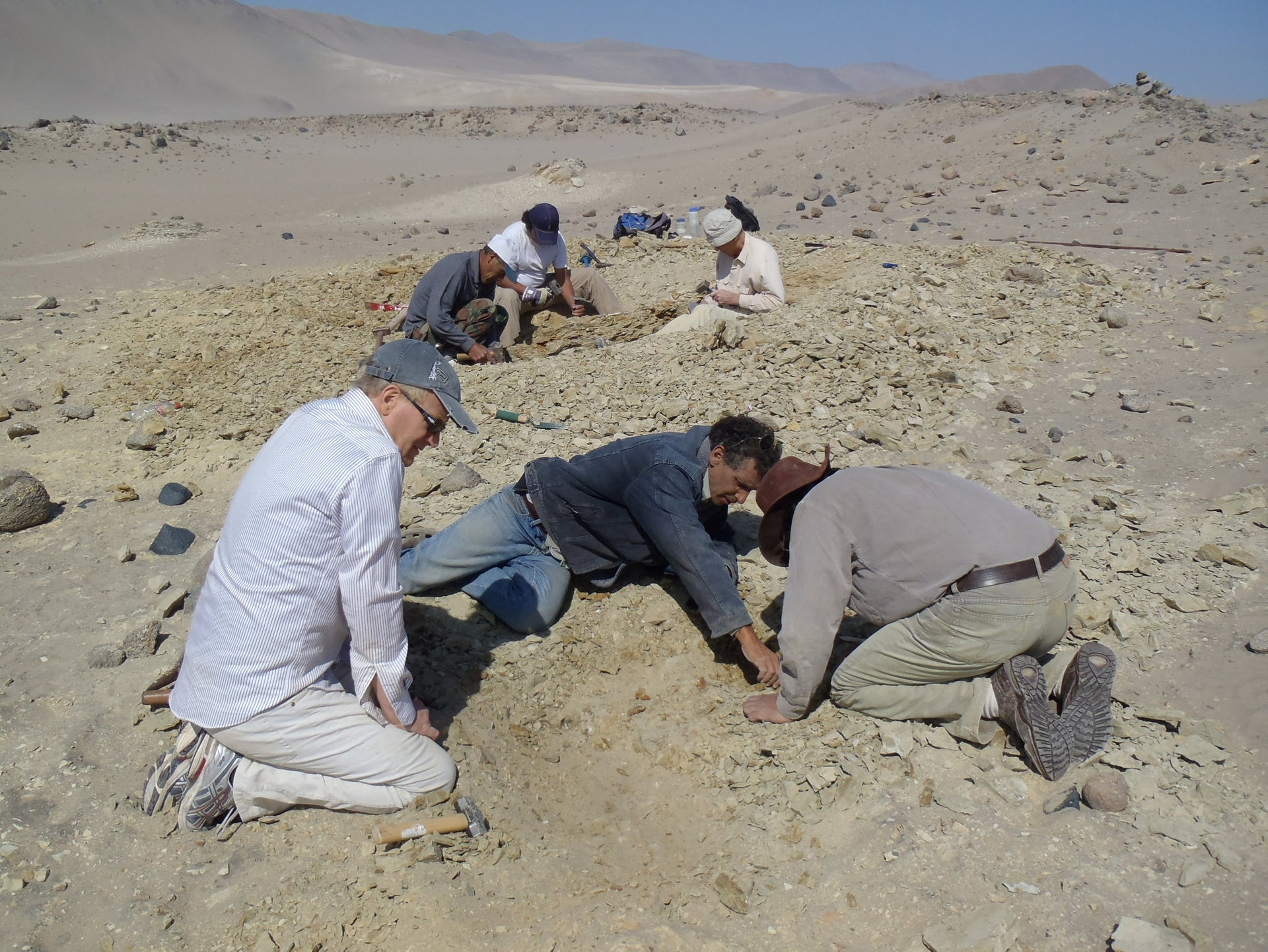 Researchers excavate the skeleton of ancestral whale Peregocetus pacificus in Peru.