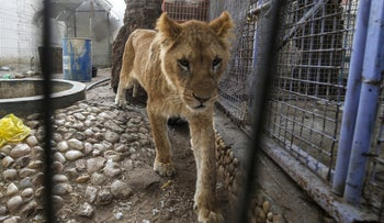 An undernourished lioness is pictured at a zoo in Rafah in the southern Gaza Strip, during the evacuation to Jordan, on April 7, 2019.
