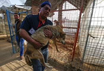 Amir Khalil, a veterinarian with Four Paws carries a sedated coyote at a zoo in Rafah in the southern Gaza Strip, during the evacuation of animals to relocate to sanctuaries in Jordan, April 7, 2019.