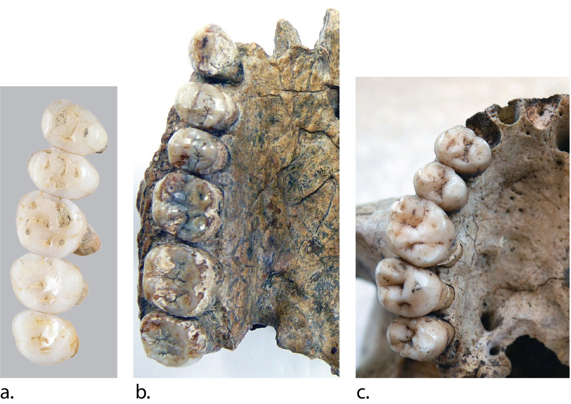 Comparision of H. luzonensis (left) with H. Erectus (middle) and Homo sapiens