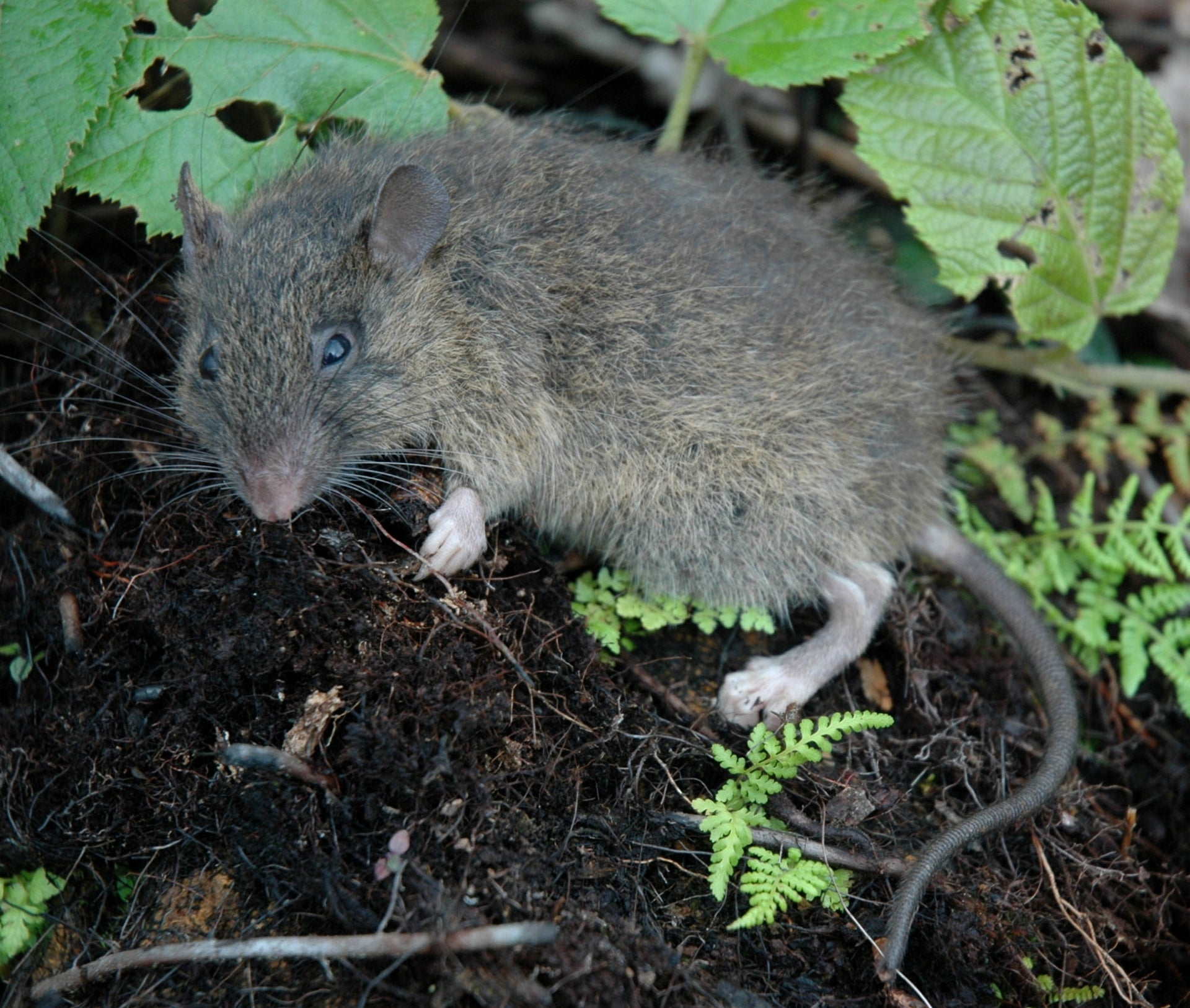 A hairy-tailed rat