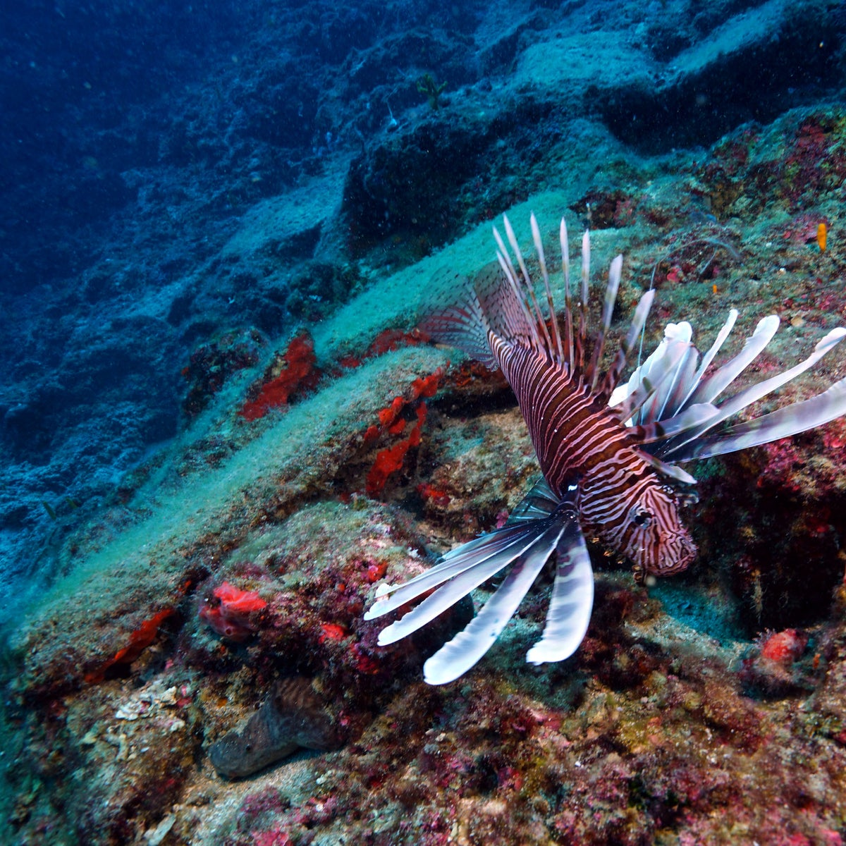 Poisonous lionfish swims over 3,600-year-old copper ingots