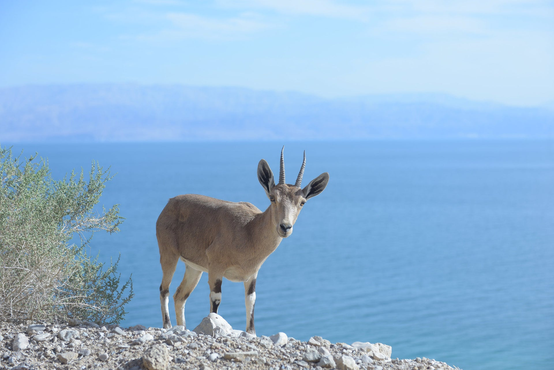 Ibex by the Dead Sea