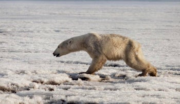 A polar bear walks on ice near in Tilichiki, about 936 kilometers (585 miles) north of Petropavlosk Kamchatsky, Russia, on April 16, 2019.