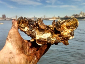 Juvenile oysters grow on shells reclaimed from restaurants