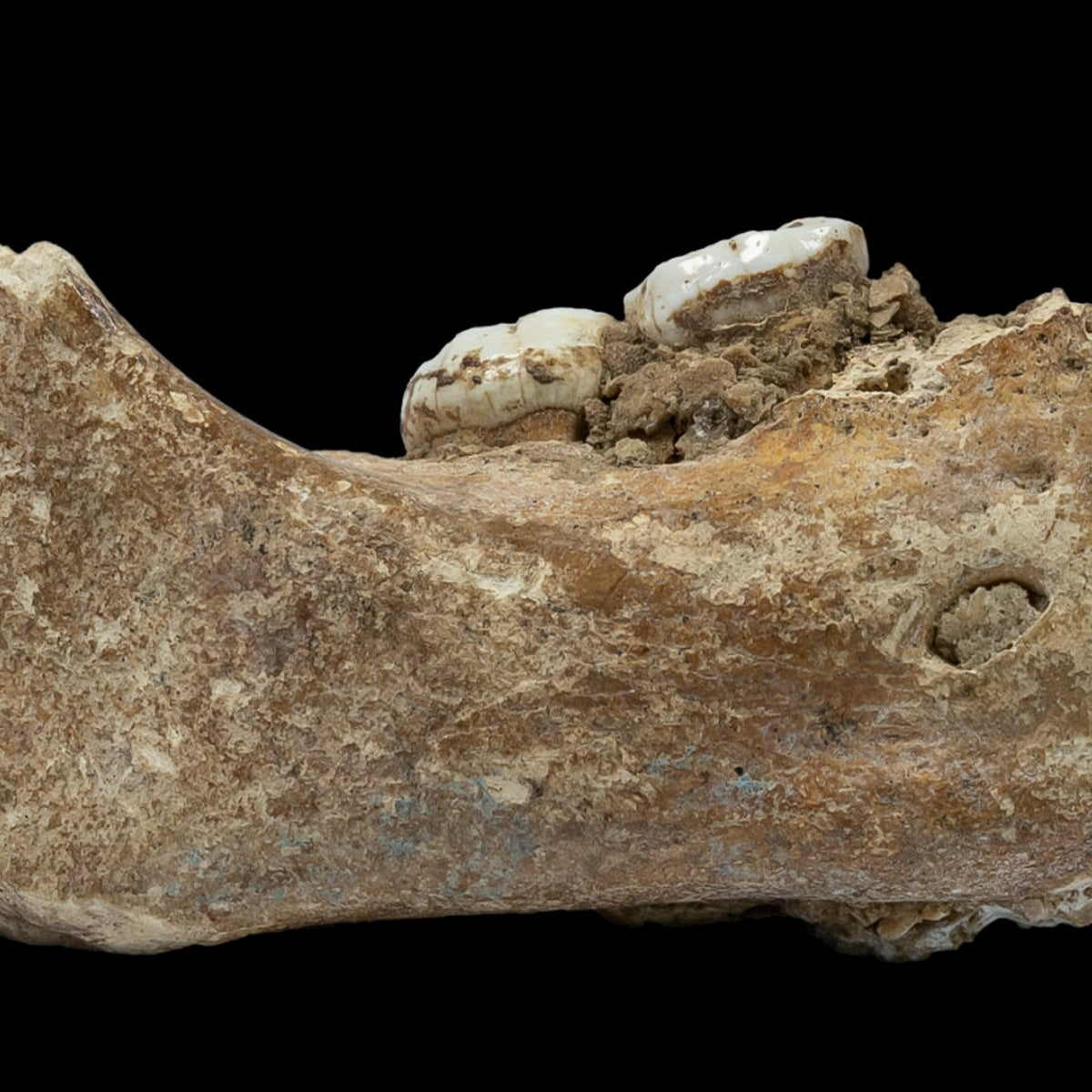 The Xiahe mandible now identified as a Denisovan, of which only the right half was found in Baishiya Karst Cave.