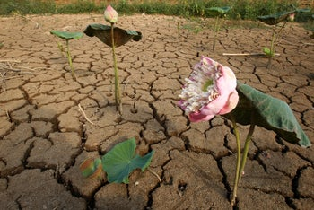 Lotus flowers wilt in the dry cracked earth of an empty pond during the dry season outside of Phnom Penh, Cambodia, Thursday, April 25, 2019.