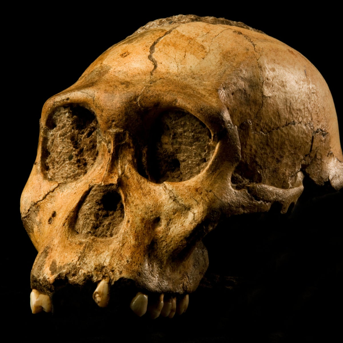 "The cranium of Malapa hominid 1 (MH1) from South Africa, named ""Karabo"". The combined fossil remains of this juvenile male is designated as the holotype for Australopithecus sediba."