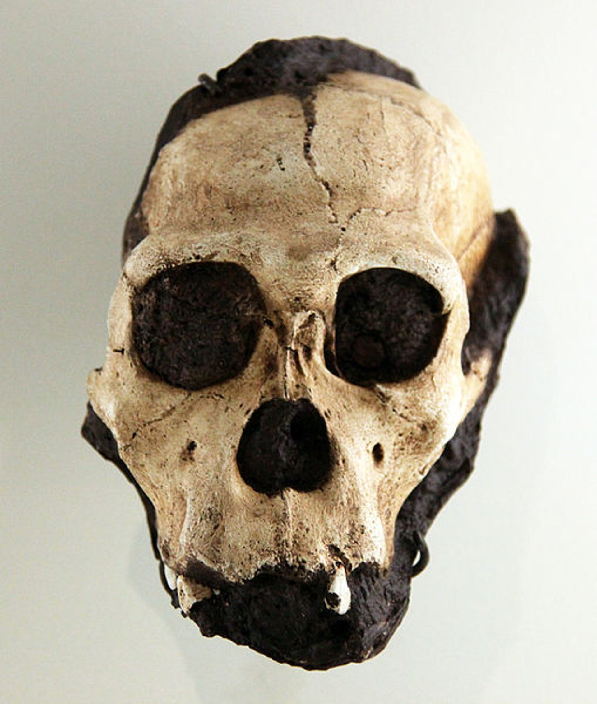Australopithecus sediba juvenile male skull at the Smithsonian Museum of Natural History
