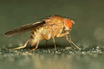 The humble fruit fly.