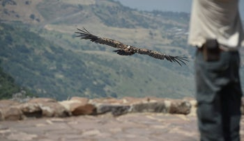 Vulture returned to nature after eating poison spread illegally in the Golan Heights, Israel, May 16, 2019.