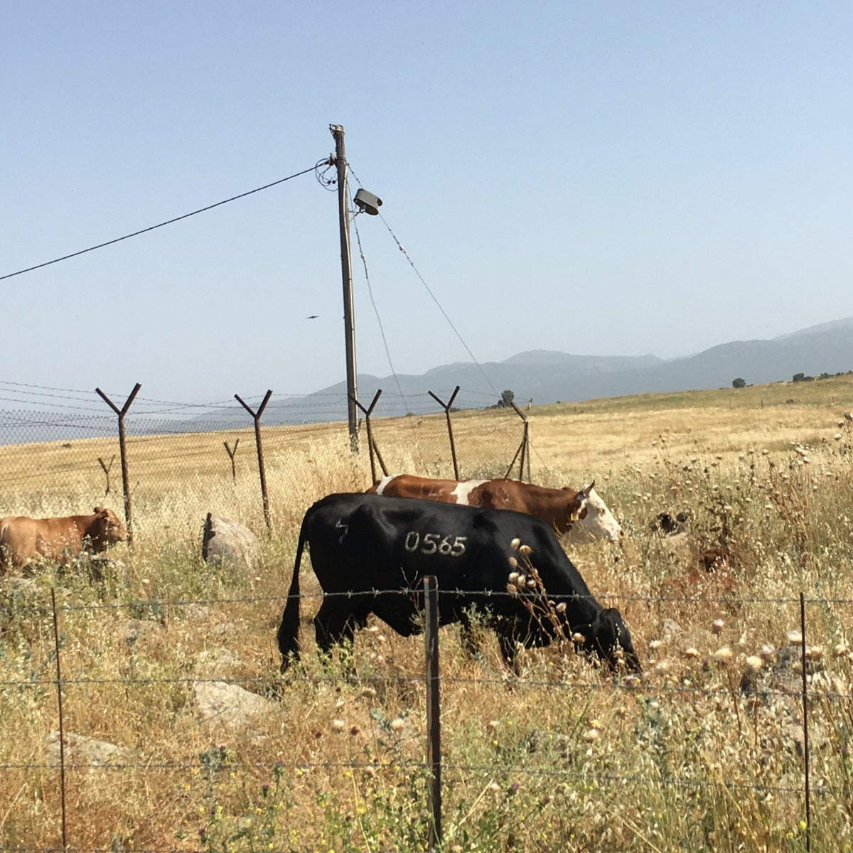 Cows grazing just outside of the Golan Heights community of Beruchim.