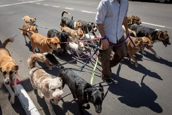 A dog walker exercising a group of dogs in Jerusalem.