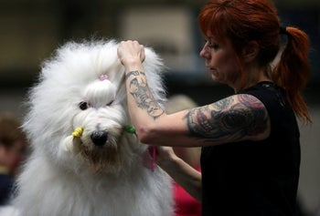 An Old English sheepdog being groomed at the Crufts Dog Show in Birmingham, England, March 8, 2019.