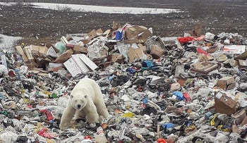 A stray polar bear is seen on a garbage dump at the industrial city of Norilsk, Russia June 18, 2019
