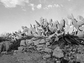 Cactus plants filled with bullet holes after the Deir Yassin massacre of April 9, 1948.