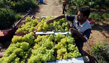 A Palestinian farmer loads grapes on a truck at a farm in the southern Gaza Strip July 2, 2019.