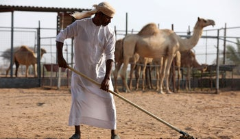 A camel herder collects feces at a farm in Adhen Village, Ras al Khaimah, United Arab Emirates, July 16, 2019.