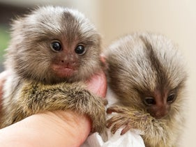 Pygmy marmosets: The newly discovered fossil monkey may have been around this size.