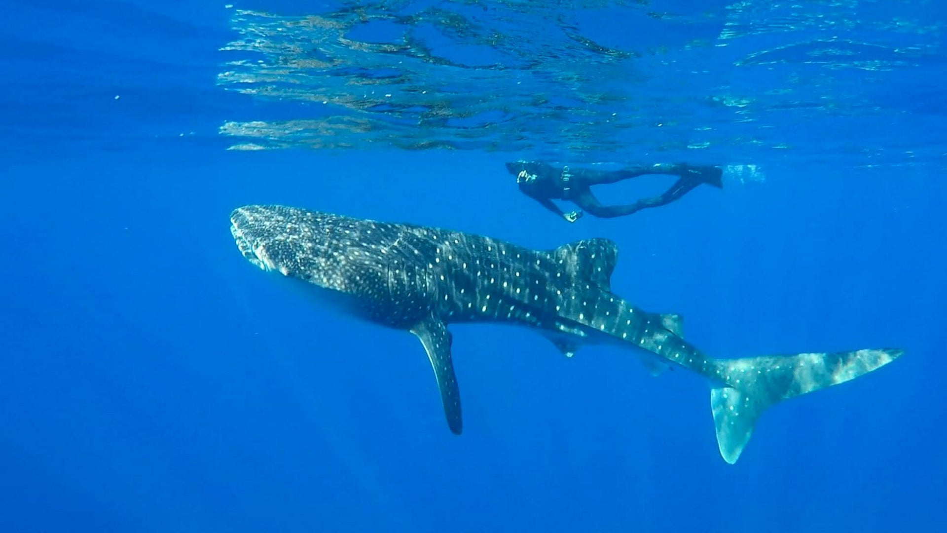 The whale shark spotted in the Gulf of Eilat, July 30, 2019.