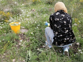 A woman harvests gundelia in northern Israel, March 19, 2019.