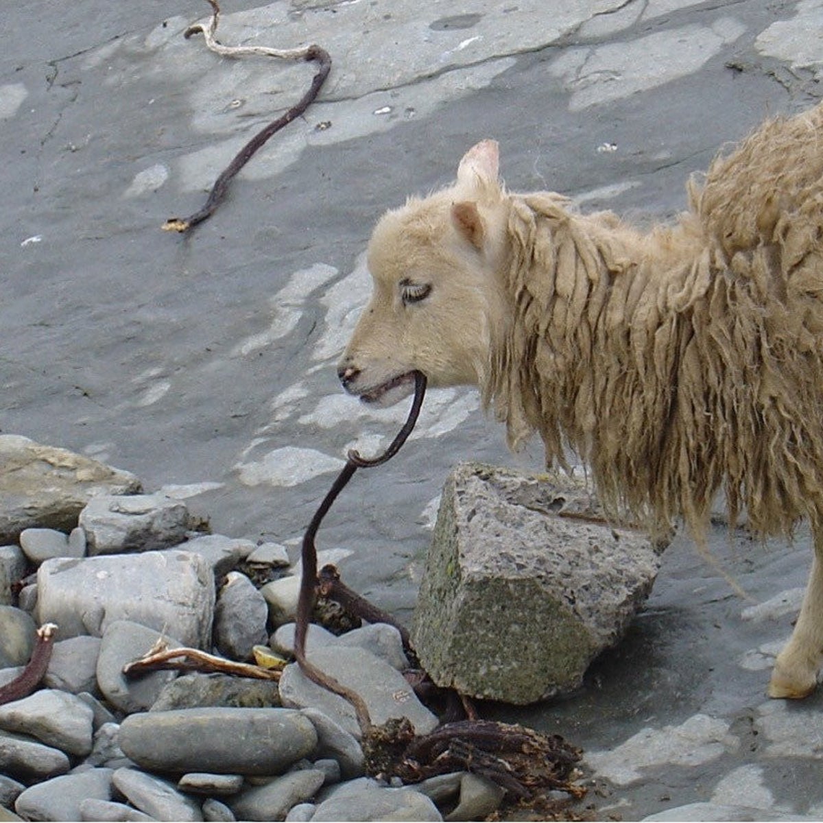 Sheep on Skara Brae eating seaweed