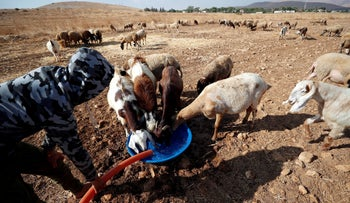 A Palestinian man waters goats and sheep in the Jordan Valley, West Bank, August 21, 2019.