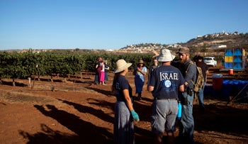 Volunteers from HaYovel harvest grapes at a vineyard on the outskirts of the Har Bracha settlement in the  West Bank, August 26, 2019.