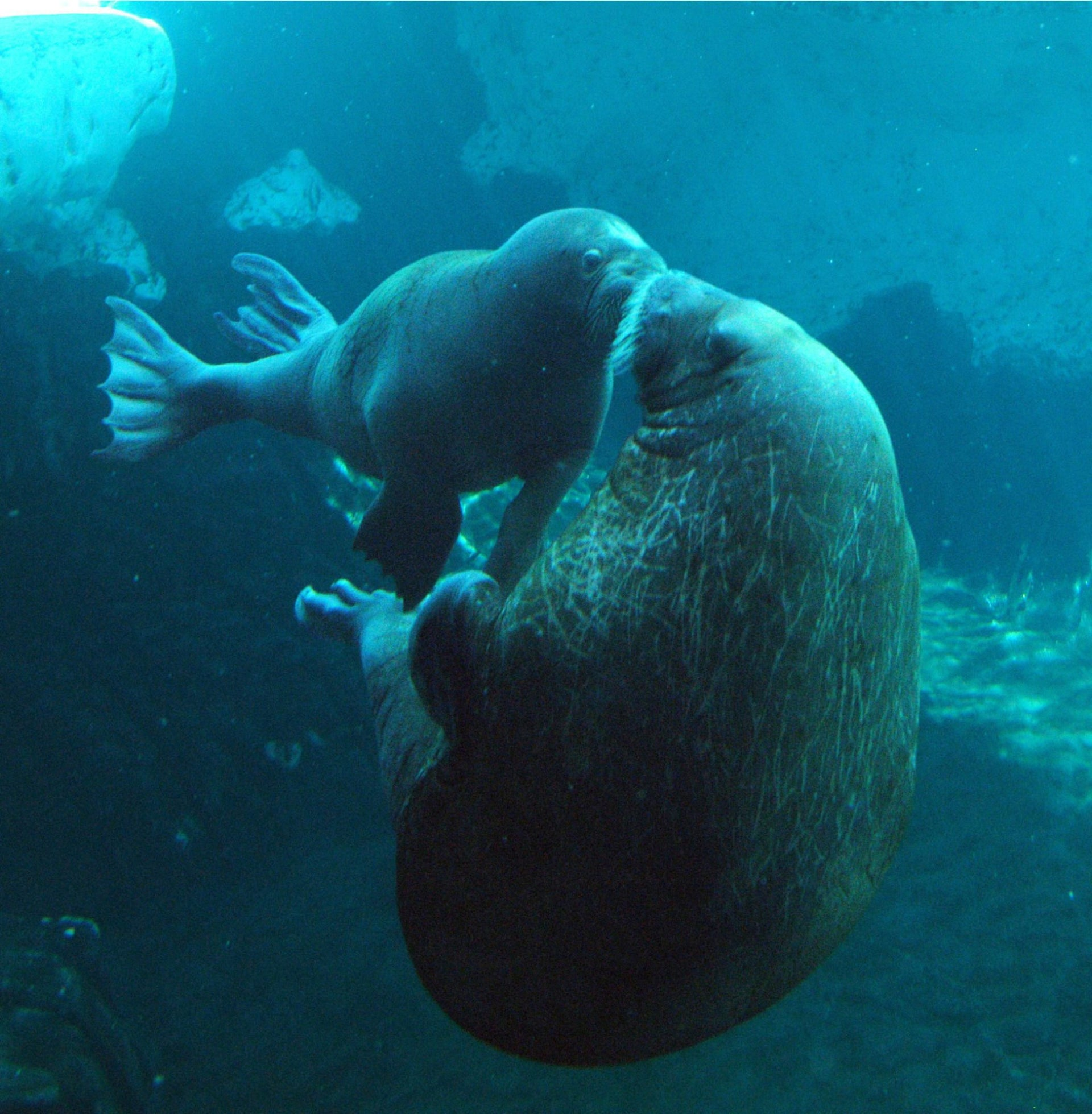Walruses mother and pup frolicking in the frigid waters