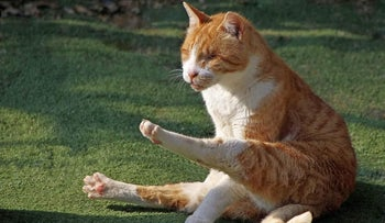 Louie the blind cat is cleaning himself, at the House for Rescuing Cats in the northern city of Hadera.