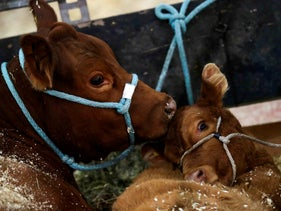 A cow and her calf at an exhibition by the Argentine Rural Society, Buenos Aires, July 25, 2019.