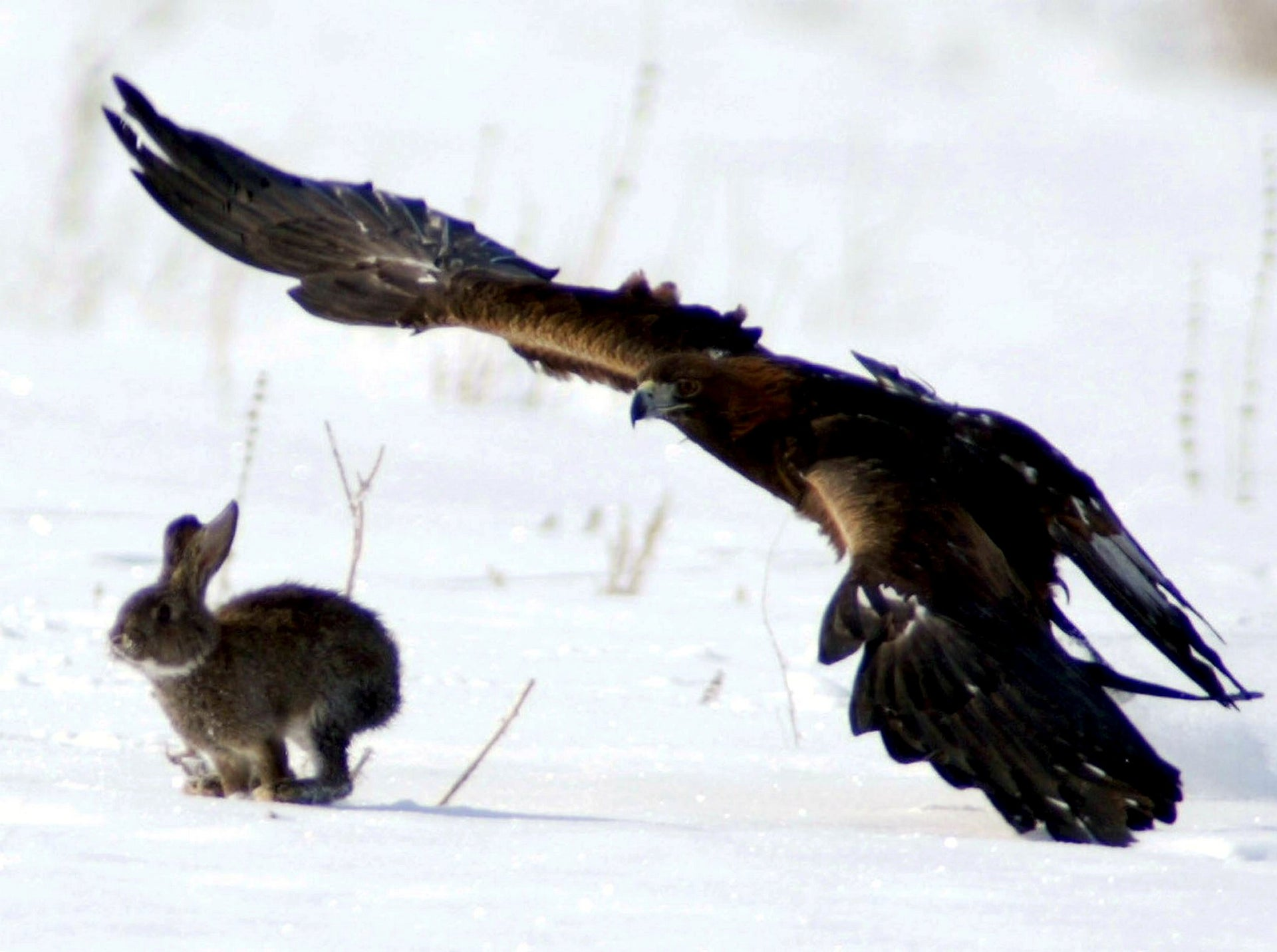 Golden eagle and hare