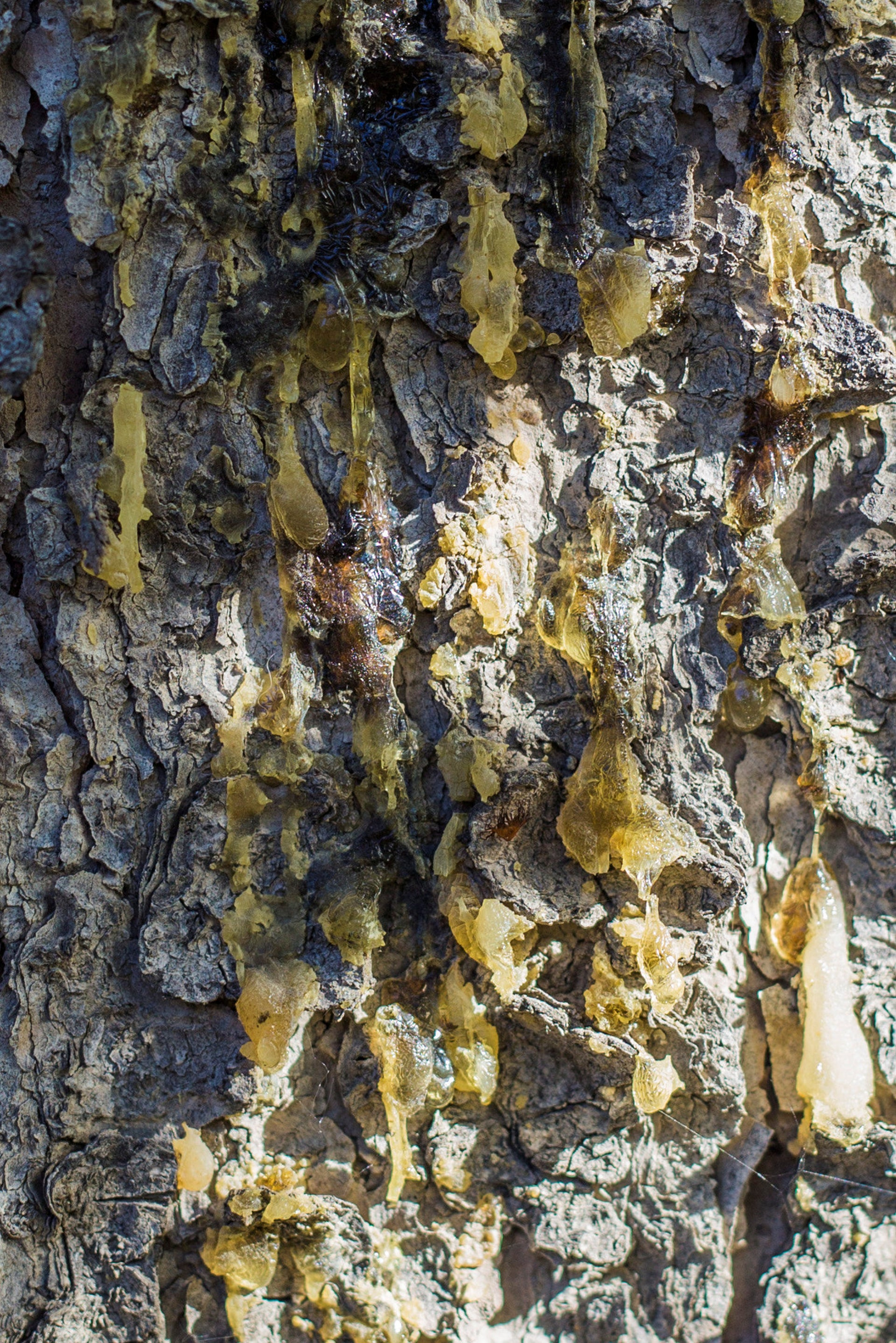 Resin seeping from pine tree