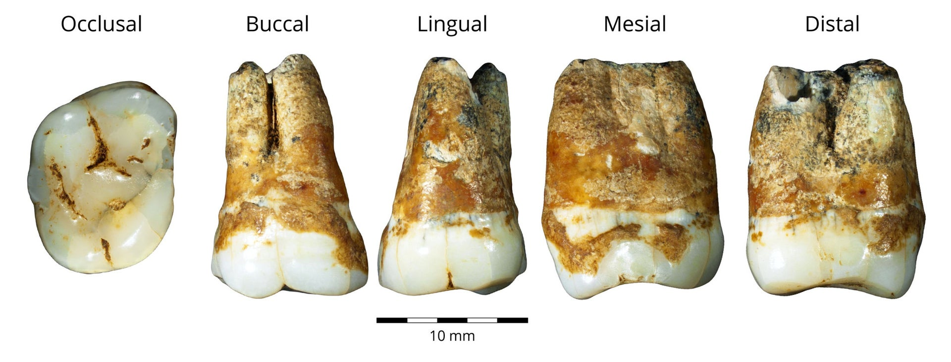 Upper and lower molars from Manot cave