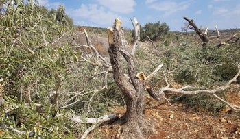 Olive tree sawed down in the West Bank on November 10, 2019.