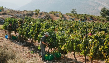 Workers at the Psagot Winery in the West Bank, 2014.