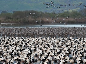Tens of thousands of storks gather in the Hula Valley, June 3, 2019.