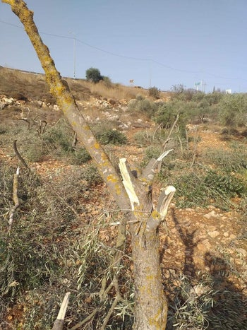 Tress damaged in the Palestinian village of As-Sawiya, near the Rehalim settlement in the West Bank, November 29, 2019.