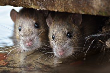 Fleas on rats are blamed for spreading plague bacteria