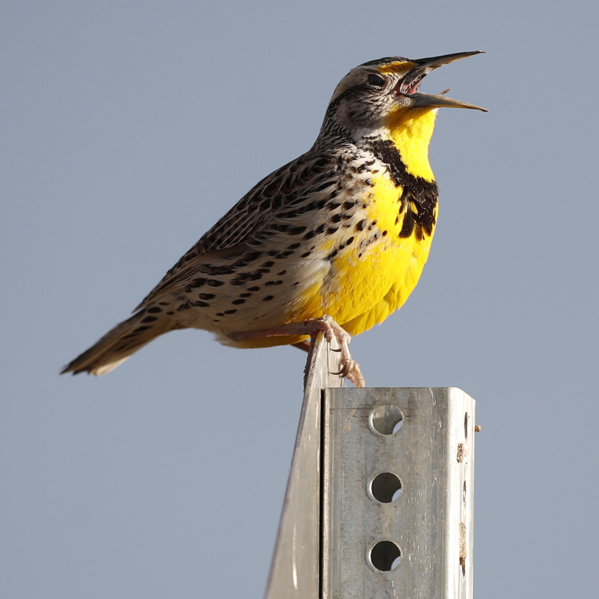 Migratory birds are shrinking